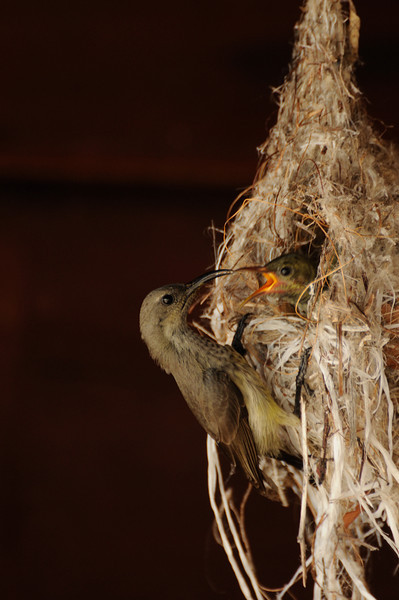 Sunbird feeding chicks, Aldabra