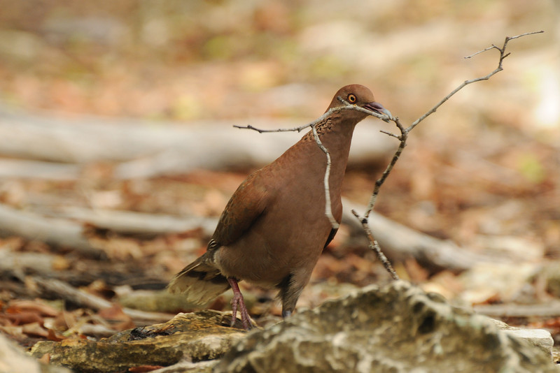 Malagasy dove with nesting material, Aldabra