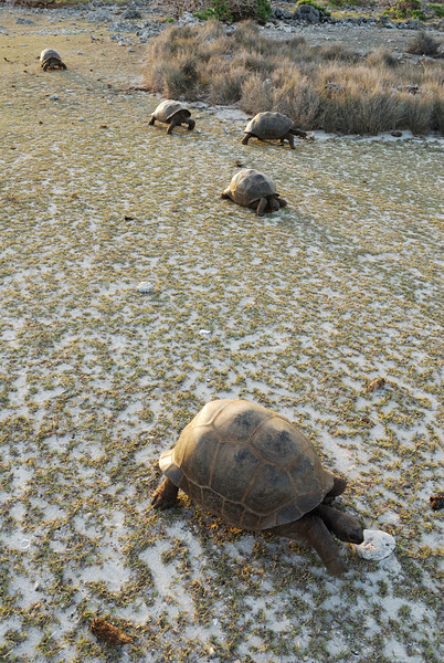Walking Tortoises, Aldabra