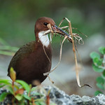 White-throated rail nest building, Aldabra