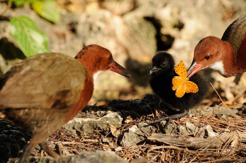 Rail chick with parents, Aldabra
