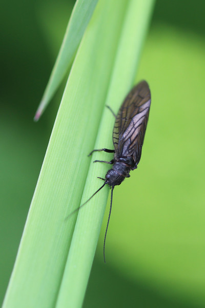 Unidentified Alderfly (Megaloptera)