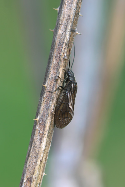 Alderfly (Sialidae)