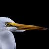 Dramatic Egret