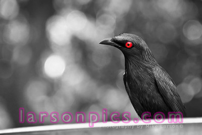 B/W Metallic Starling