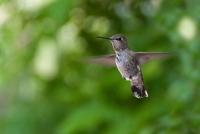 Humming Bird In Flight