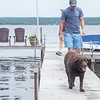 Rory, a 15 year old chocolate lab, returns from the water after playing fetch, her favorite game Wednesday, June 12, 2019. ALEX WADLEY/STAFF PHOTOGRAPHER