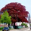 F1925<br /> Twee rode beuken die rond 1890 geplant zijn in de voortuin van villa Twins Home. (Zie afbeelding 4 in het boekje Sassenheim in grootmoeders tijd  van J.E. van Teylingen en H.J.N. Verhoef.) Na de sloop van de villa in 1991 kregen de beuken een monumentale status. Foto: 2009.
