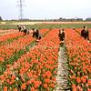 F3722<br /> Dit is een opname van de tuin aan de Akervoordelaan op de grens van Lisse en Sassenheim bij de boerderij van Bergman. Wij zien hier tussen de tulpen: vlnr Piet Kruik, Klaas Kruik, Han de Vreugd, Jan van der Meij en Jaap Kruik.
