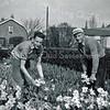 F3978<br /> Siem Vos en Aad Vos koppen hier narcissen een bekende soort uit die tijd namelijk Lucifers op het land in de Florisschouten-Vrouwenpolder. Foto: 1956 of 1957