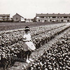 F3590<br /> Het bollenland waar nu de wijk Wasbeek gebouwd is. toen was het nog de tuin van Zonneveld & Phillippo. Op de achtergrond de Hyacintenstraat en links de Hoekstraat. En tussen de tulpen Mary Overmeer. Foto: 1961.