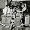 F0694 <br /> V.l.n.r.: Frans Stigter, Jan Havenaar en Freek Durieux aan de lopende band. Ze zijn bezig met het rapen van zieke hyacinthenbollen van de band. De gezonde bollen vallen in de mand. Locatie is de bollenschuur van de Gebr. Van Zonneveld & Philippo aan de Hoofdstraat.