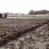 F1179 <br /> Het gewas wordt bespoten op het land van Gebr. Van Zonneveld & Philippo N.V., waar nu Mecklenburg gelegen is. Rechts achter de bomen is de achterkant van het toenmalige Huize St. Bernardus te zien. V.l.n.r.: hoge bollenschuur van M.J. van der Weijden, achter Hoofdstraat 64 (vh. Berg & Weijers), dan de lage schuur van Th. Kapteyn en daarna de panden van  de villa's  Zonnewende (A.v. Zonneveld) en Mecklenburg. <br /> Personen v.l.n.r.: J. de Vreugd, Dirk de Jong, J. van der Mey, Jaap Hazenoot en Kees Geluk.