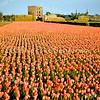 F3746<br /> Bloeiende tulpenvelden. Op de achtergrond de ruïne van Teijlingen. Daarvoor staat drie rietschelften.