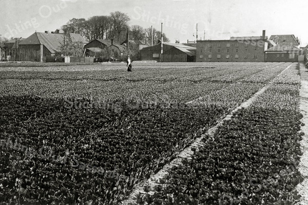F0518 <br /> Het bollenland van Van der Voort achter Hoofdstraat 169. Een foto uit 1948 met links de heer Van der Voort. Op de achtergrond het kantoor en de 'nieuwe' bollenschuur uit 1927. We kijken tegen de achterzijde van de panden Hoofdstraat 169 t/m 191. Aan de rechterzijde van het bollenland stond een lange heg; daarachter bevonden zich de speelplaats van de St. Annaschool en de kloostertuin. Het bollenland is verkocht in 1960. Hierop werd later het Koningspark gebouwd. Foto: 1948.