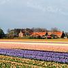 F0525 <br /> Het gebied Klinkenberg , nu gezien vanaf het Spoorpad, het fietspad naar Warmond langs de spoorlijn. Vooraan zien we de boerderij van L. Ciggaar en daarachter de boerderij van P. Koot. Beiden hebben hun weilanden verkocht en het gebied is nu bollenland geworden. Links achter het geboomte ligt links de A44. Foto: 1998.