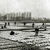 F3285<br /> Bollenvelden van de firma C.J. Speelman & Zonen. Nu is de Kwekersweg daar gelegen. Rechts in de verte is boerderij Knorrenburg te zien, op de plaats waar nu Huize St. Bernardus staat.