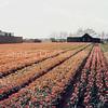 F2632<br /> De bollenvelden van Fred de Meulder te Sassenheim. Foto: 1979.
