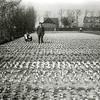 F1154 <br /> Het bollenland van de familie Dwarswaard  aan de zuidzijde van de 3e Poellaan in Lisse (dus tegen Sassenheim aan). We zien hier de achterkant van de huizen langs de Heereweg/Hoofdstraat. Links achter de bomen staan 'de zeven huizen'. Foto: ca. 1930.