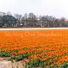 F2865<br /> Bollenveld met tulpen op het land van de fa. Blom. De huizen op de achtergrond staan aan de Teijlingerlaan. Nu is hier de SassemBourg.