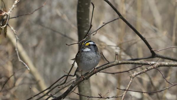 Allison Gregor - algonquin7-white-breasted-sparrow