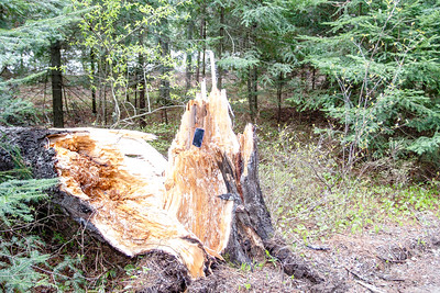 The stump of the Balsam fir.
