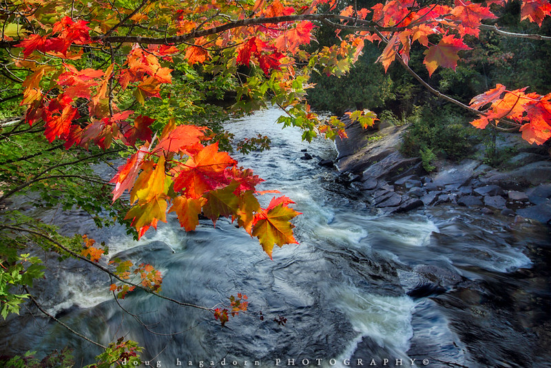 Red Maple Over The Oxtongue River (#0478)