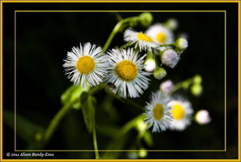 Wild daisies in a field nearby<br /> (2006-05-05 crw_5039  )
