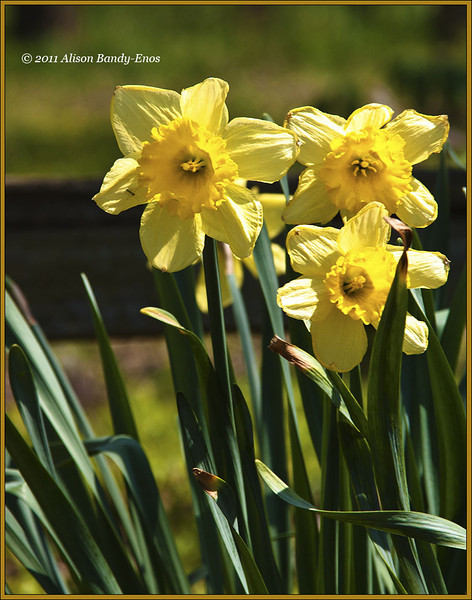 Daffodils in a park in Englewood, OH.<br /> (2005-11-06crw_1204 Wedding )