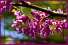 Red Bud Tree in our backyard in West Chester, OH<br /> (2005-05-08 crw_1408 purple flowers 4x6 )