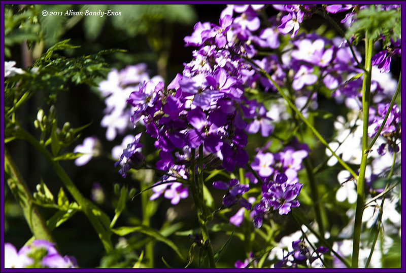 Phlox from the wall by our driveway.  West Chester, OH<br /> (2005-05-25 crw_1576   )
