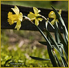 Daffodils in a park in Englewood, OH<br /> (2005-11-06crw_1205 Wedding  )