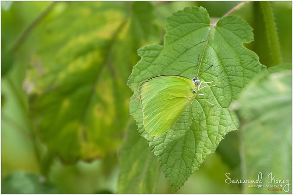 Male Common Lemon Emigrant butterfly
