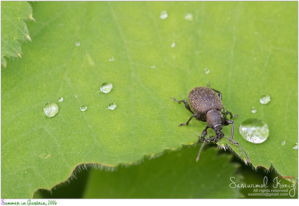 Brown European beetle, Black Vine Weevil