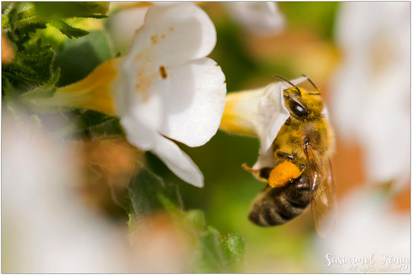 Worker bee feeding on Bacopa with big balls of bee pollen