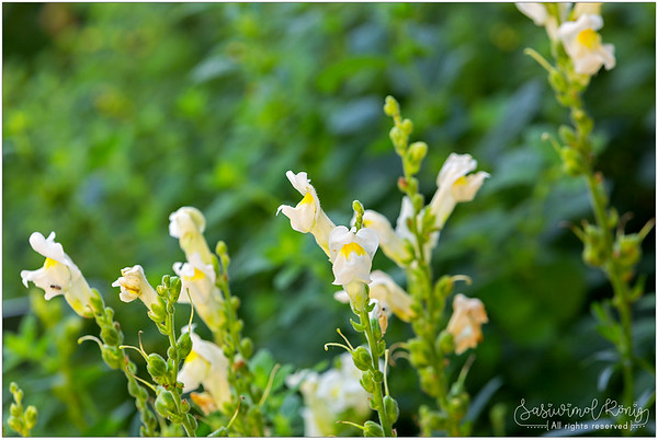 White snapdragon