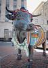 Major the Bull 2