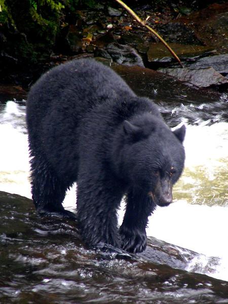 Neets Bay Hatchery - Alaska Black Bear - Taken with an Olympus C-765 Ultra Zoom camera.