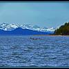 Alaska Whale - Near Juneau