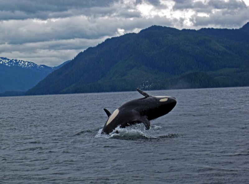 IMG_1093Rev1 - Guy - Killer Whale