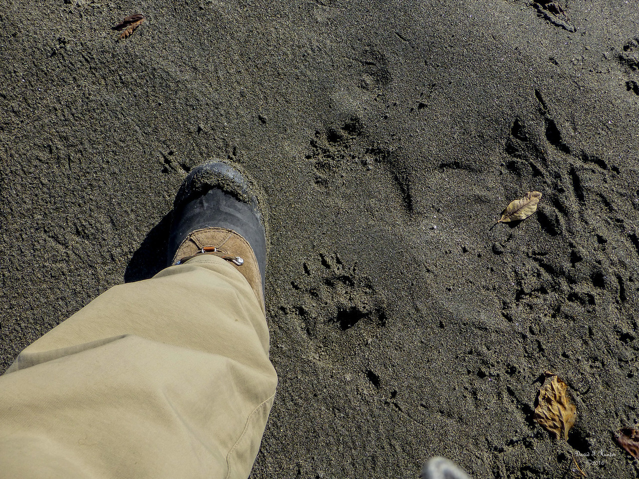 Baby Bear Tracks