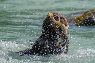 Bear vs. Fish