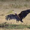 Ohrengeier, Lappet-faced Vulture, Torgos tracheliotus