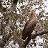 Palm-nut Vulture, Palmgeier, Gypohierax angolensis juv.