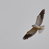Black-shouldered Kite, 	Gleitaar,	 Elanus caeruleus