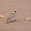 Braunscheitellerche, Fischer's Sparrow-Lark, Eremopterix leucopareia ♂