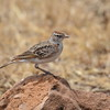 Rotkappenlerche, Red capped Lark, Calandrella cinerea