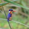 Haubenzwergfischer, Malachite Kingfisher, Alcedo cristata