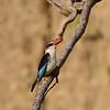 Brown-hooded Kigfisher, Braunkopfliest, Halcyon albiventris