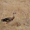Sporngans, Spur-winged Goose, Plectropterus gambensis